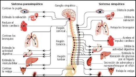 Figura-7-Diagrama-ilustrativo-de-la-disposicion-general-del-sistema-nervioso-autonomo